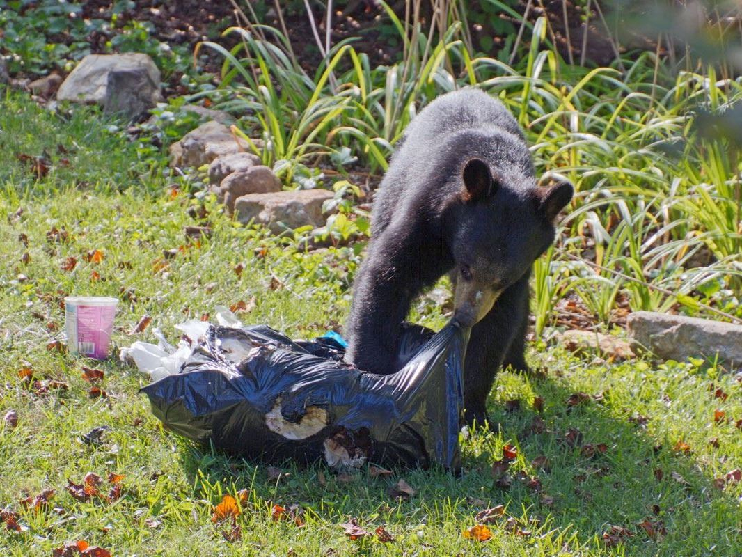 Bear with garbage