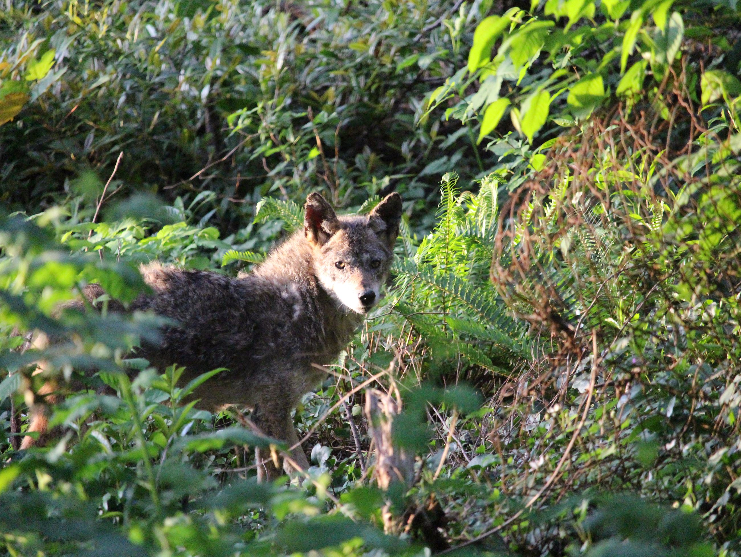 Coyote in the Bush - News Flash Image