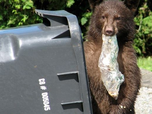 Bear in Garbage