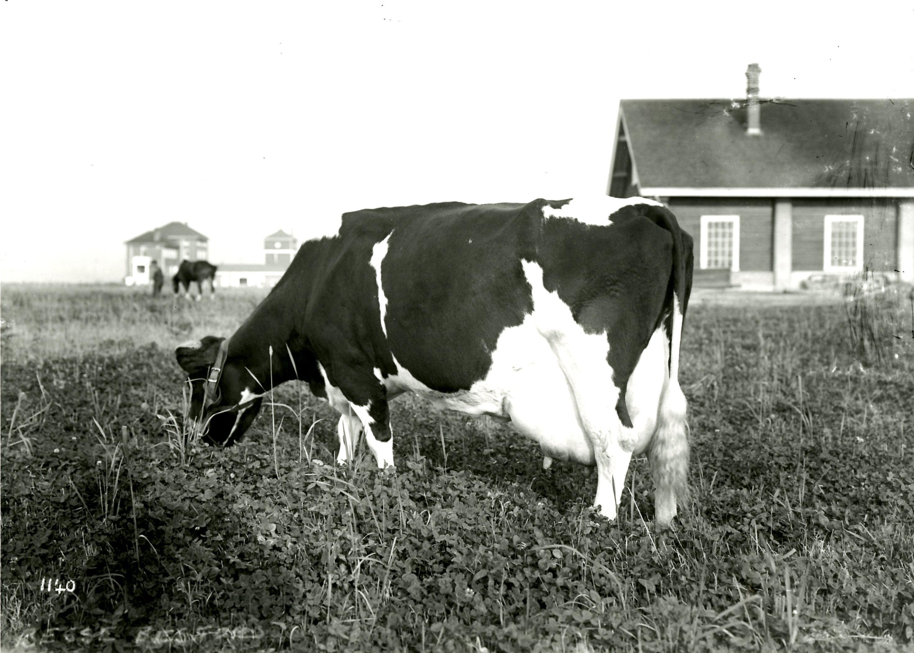 Besse Besford, Champion Milk Producer, Circa 1912 (JPG) Opens in new window